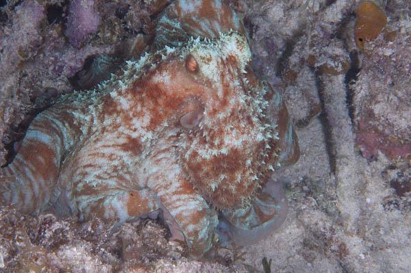 Camoflaged Octopus by Colin Zylka - Marine Photobank